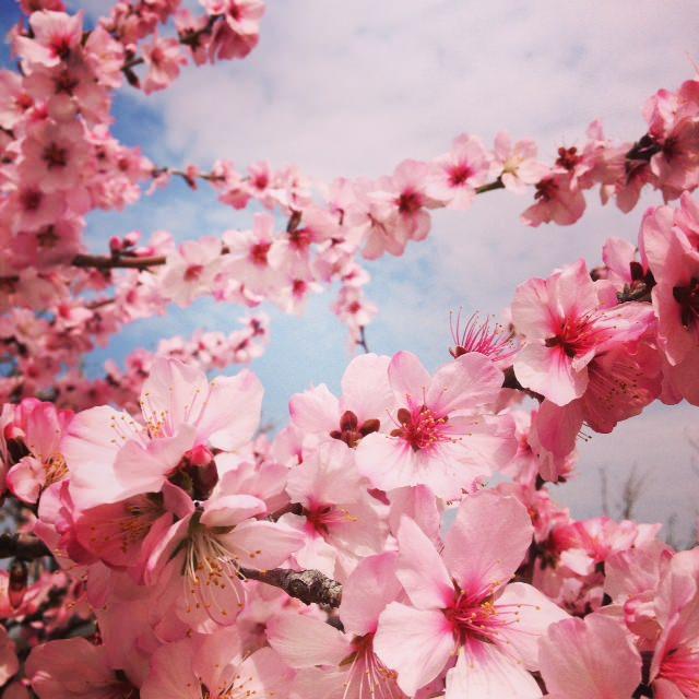 長居公園 桜 2014